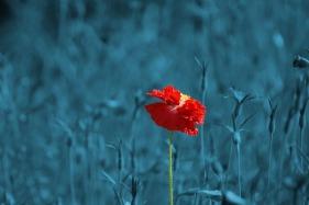 poppy-186635_960_720
